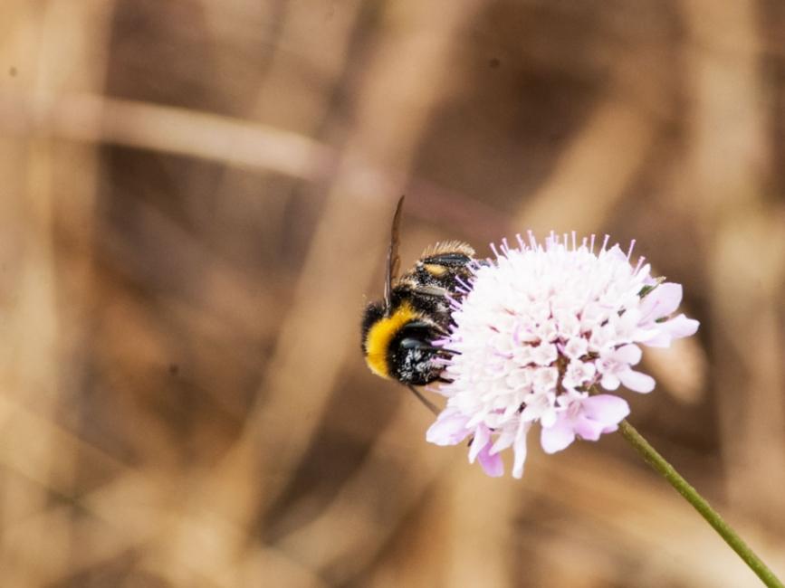 abejorro trabajador