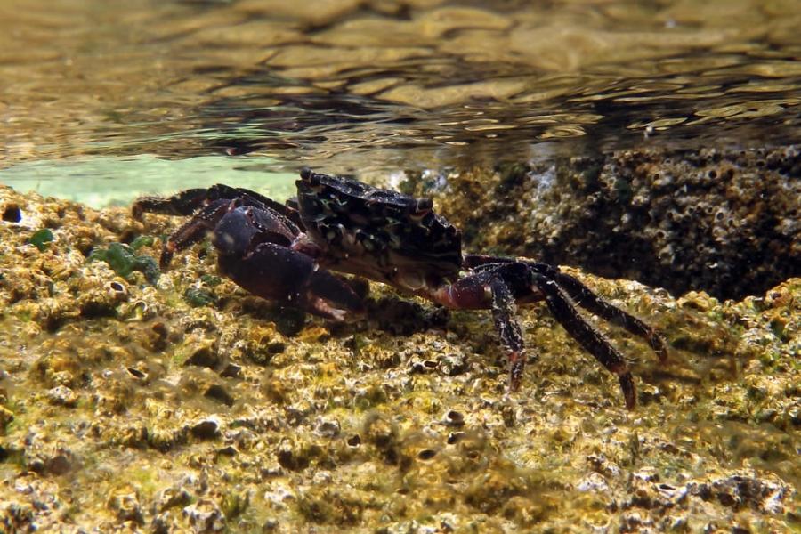Cangrejo común