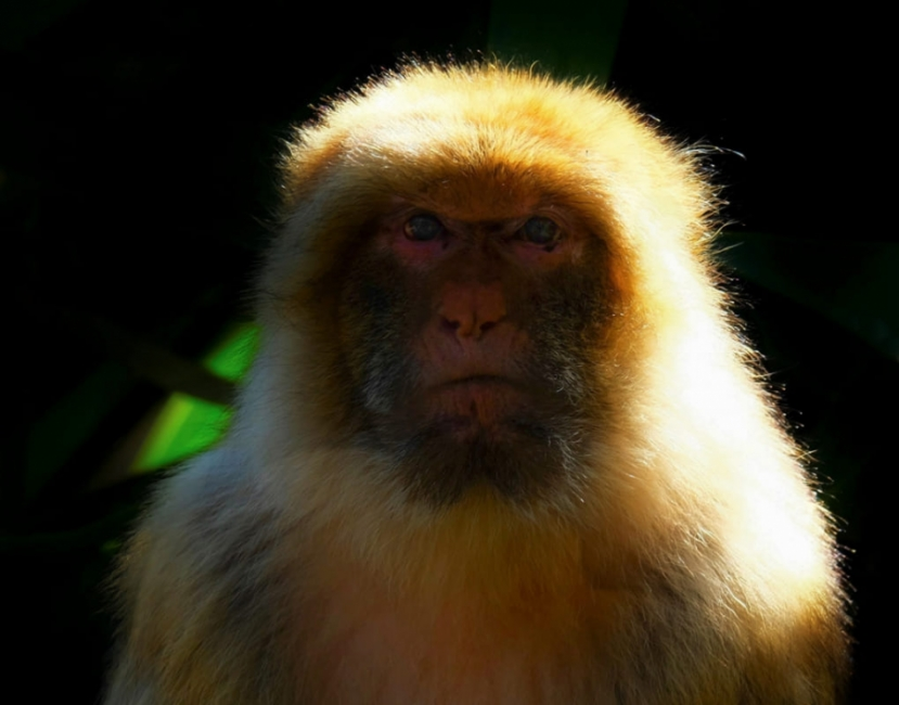 Primate posando.