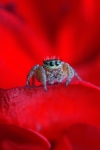 spider in red
