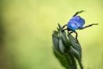 Escarbat blau