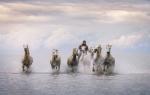 Los caballos de la Camarga