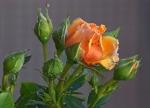 Una rosa i varios capullos