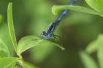 caballito azul